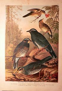 Naumann: Naturgeschichte der Vögel: Geocichla sibirica [Szibériai riqó]