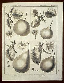 Sellier, F. N.: Choix de Plantes...: Orange Musquée., Rousseline., Martin See., Rousselet de Reims.