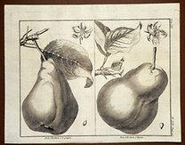 Sellier, F. N.: Choix de Plantes...: Bon Chretien d'Espagne., Bon Chretien d'Hyver.