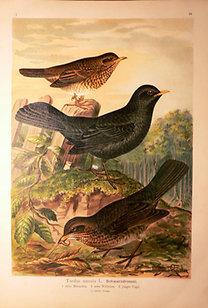 Naumann: Naturgeschichte der Vögel: Turdus merula [Fekete rigó]