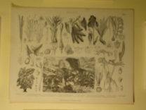 Brockhaus Bilder-Atlas: Botanik Taf. 11.