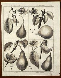 Sellier, F. N.: Choix de Plantes...: Blanquet a longue Quene., Archiduc d'Eté., Epargne., Cuisse-Madame.