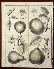 Sellier, F. N.: Choix de Plantes...: Cassolette., Bergamotte d'Automne., Gros Rousselet ou Roi d'Eté., Bergamotte Suisse.