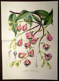 Lemaire, Ch.: Bomarea (trópusi növény)
