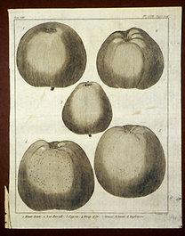 Sellier, F. N.: Choix de Plantes...: Haute Bonte., Non-Parcitte., Pigeon., Drap-d'Or., Grosse Reinette d'Angleterre.