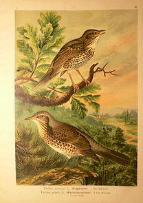Naumann: Naturgeschichte der Vögel: Turdus musicus [Énekes rigó]