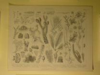Brockhaus Bilder-Atlas: Botanik Taf. 7.