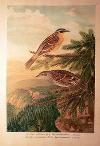 Naumann: Naturgeschichte der Vögel: Accintor modularis [Erdei szürkebegy]
