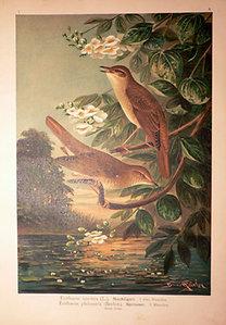 Naumann: Naturgeschichte der Vögel: Erithacus luscinia