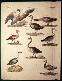 Bertuch - Schmuzer: Bilderbuch für Kinder...: Vögel X. - Madarak