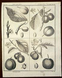 Sellier, F. N.: Choix de Plantes...: Prune jaune hative., Perdrigon blanc., Perdrigon violet., Royale