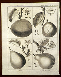 Sellier, F. N.: Choix de Plantes...: Beurre Gris., Orange Tulipée., Angleterre., Bezy de Chaumiontel.