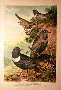 Naumann: Naturgeschichte der Vögel: Turdus torquatus [Örvös rigó]
