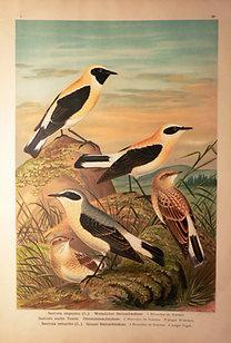Naumann: Naturgeschichte der Vögel: Saxicola stapazina [Feketetorkú hantmadár]