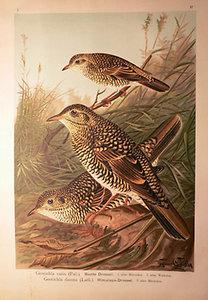 Naumann: Naturgeschichte der Vögel: Geocichla varia [Tarka rigó]