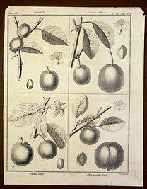 Sellier, F. N.: Choix de Plantes...: Mirabelle., Sainte Catheine., Damas blanc., Abricotee de Tours.