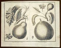 Sellier, F. N.: Choix de Plantes...: Imperiale a Feuitte de Chéne., Bergamotte de Paques.